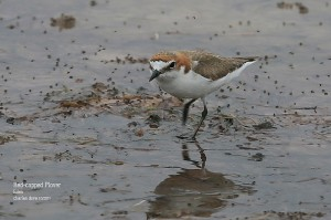 Red-capped-Plover_L2A9083