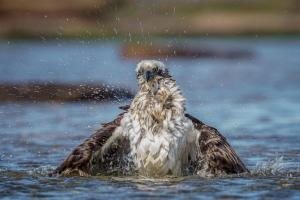 Runner up Osprey having a bathby Maria Mazo