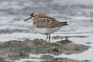 Sharp-tailed-Sandpiper-_L2A0236