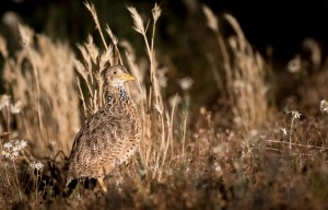 Plains Wanderer - Winner of the Single Bird Prize