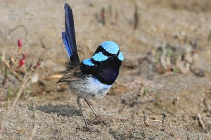 Superb-Fairy-wren_L2A8784