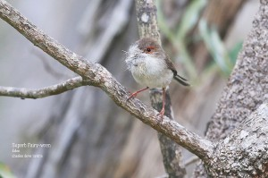 Superb-Faiy-wren-f_L2A9012