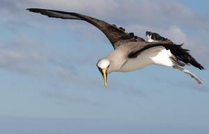 Winner Bullers Albatross in Flight by Jodi Webber